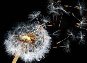 pappus-dandelion