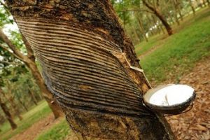 rubber-tree-plantation-estate-land-jpg_350x350